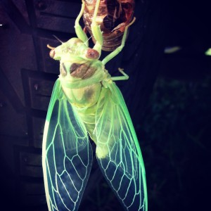 Cicada Hatches